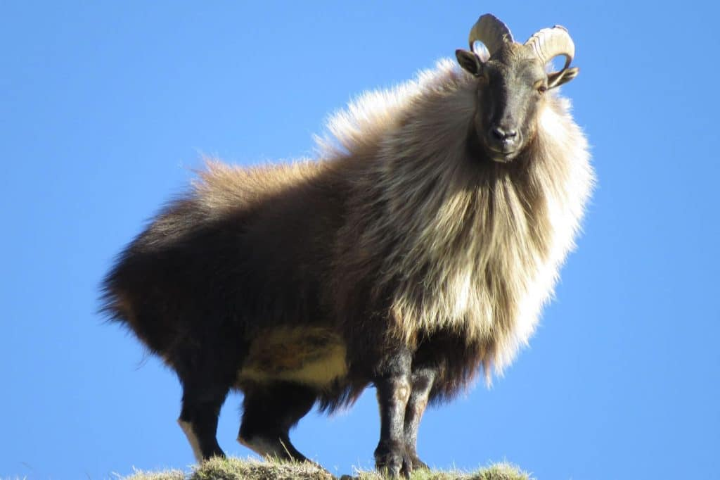 Trophy bull tahr, tahr hunting New Zealand with Lake Hawea Hunting Safaris