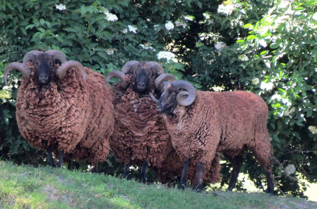 Group of trophy Arapawa ram Pitt Island rams